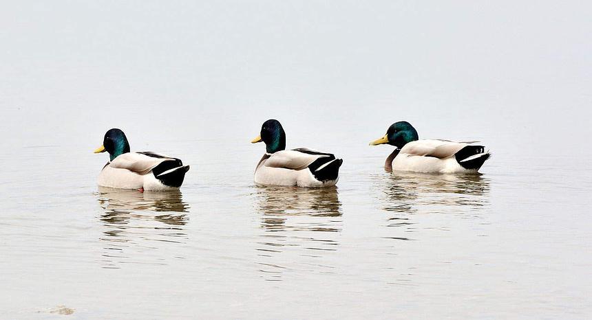 ducks-691058_1280